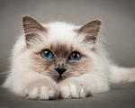 Пиометра у кошек