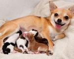 Беременность у собак и кошек