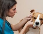 Отодектоз - симптомы, диагностика и лечение